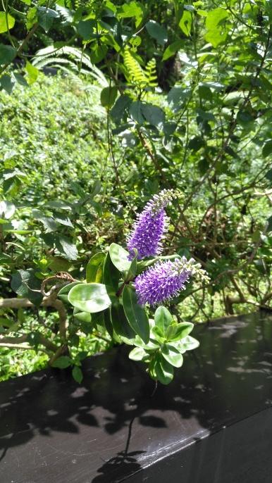Bright violets